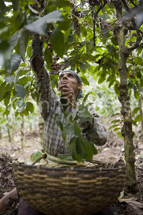Coffee workers picking coffee on a plantation. Coorg or Kadagu is the largest coffee growing region of India, in the state of Karnataka, the inhabitants - the Kodavas have been cultivating crops such as coffee, black pepper and cardamon for many generations.