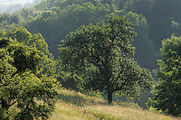Apple trees in the Meadow, Mullerthal trail, Mullerthal, Luxembourg