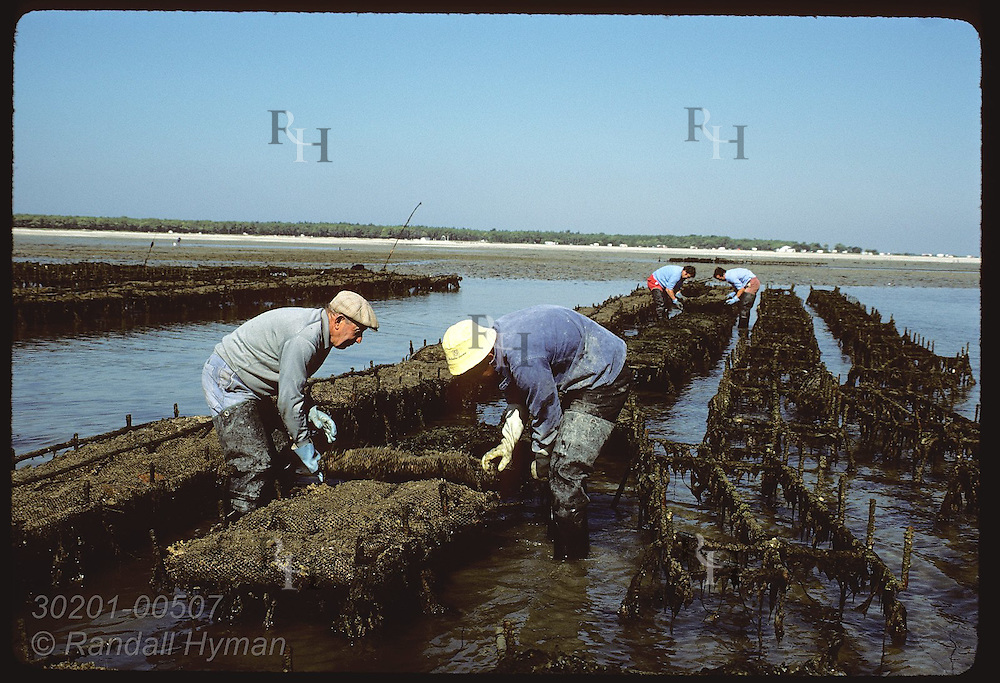 Oystermen race rising tide tending sacks of Japanese oysters on mud flats of Quiberon Bay. France
