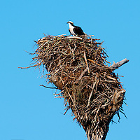 Female Osprey on Her Nest Waiting For the Male to Bring Some Food at Fort Desoto Park in St Petersburg, Florida. Image taken with a Nikon D3x and 600 mm f/4 VR lens (ISO 100, 600 mm, f/8, 1/500 sec).