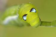 Oleander Hawk-moth larva- Daphnis nerii