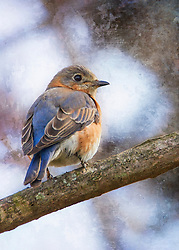 A female bluebird perched on a tree branch enjoying a spring afternoon
