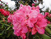 Hybrid rhododendron flowers (in the heath family, Ericaceae) bloom reddish pink in beautiful Meerkerk Gardens, on Whidbey Island, in the state of Washington, USA. To see the park's blossoms at their spectacular peak, visit around late April or early May. Getting there: 2 miles south of Greenbank, turn east at the corner of Highway 525 and Resort Road, and go to 3531 Meerkerk Lane. (Photo was taken May 22, 2015.)