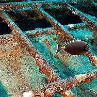 Main Cabin Orangespine Unicornfish, Carthaginian, Maui Hawaii