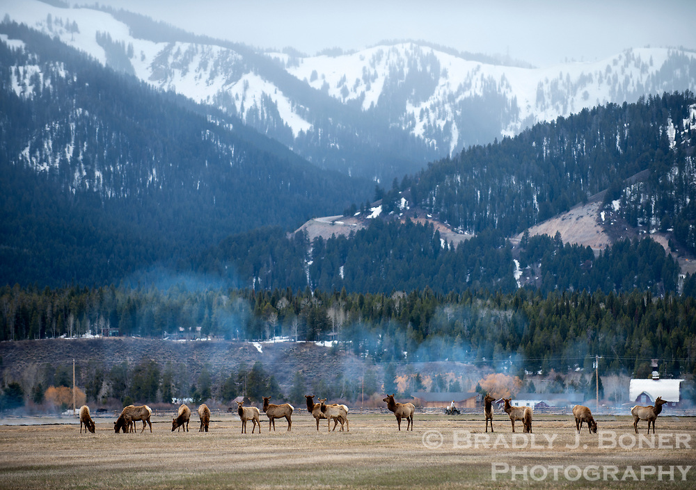 A small herd of elk grases in a field just west of Wilson, Wyoming. Wildlife throughout the valley is on the move as they embark on their migragtions to spring and summer habitat.