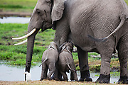 A very rare pair of elephant twins (Loxodonta africana) suckling under their protective mother ,Amboseli, Kenya, Africa