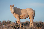 Wild mustang foal during first winter in Wyoming