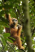 "Bornean Orangutan - ""wurmbii"" subspecies<br />(Pongo pygmaeus wurmbii)<br /><br />Cabang Panti Research Station<br />Gunung Palung National Park<br />West Kalimantan, Indonesia<br />Borneo Island<br /><br /><br />Male = Syklops"