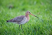 Black tailed godwit in open grassland