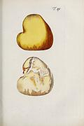 hand painted Botanical illustration of flower details leafs and plant from Miscellanea austriaca ad botanicam, chemiam, et historiam naturalem spectantia, cum figuris partim coloratis. Vol. I  by Nicolai Josephi Jacquin Published 1778. Figure 19