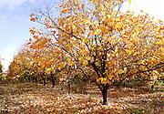Israel, Persimmon trees in a plantation Winter December 2007