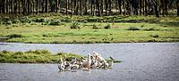 Pelicans gather in an inlet off Lake Nakuru, Kenay.