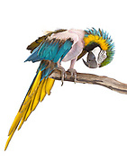 Blue and Gold Macaw (Ara ararauna). Before arriving at the Sanctuary, Tully plucked out her feathers for so long that they cannot grow back. She is now much healthier and happier. Santa Barbara Bird Sanctuary, California.