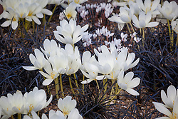 Colchicum speciosum album AGM (giant meadow saffron) and Ophiopogon planiscapus 'Nigrescens' with Cyclamen hederifolium