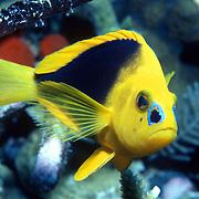 Shy Hamlet inhabit reefs in Tropical West Atlantic; picture taken Grand Cayman.