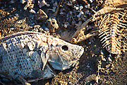 Dead talipia on the coast of the Salton Sea  Imperial Valley, CA.