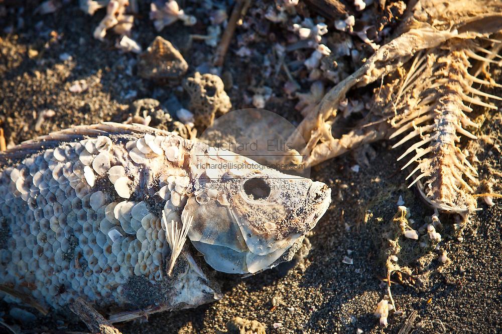 Dead talipia on the coast of the Salton Sea  Imperial Valley, CA.