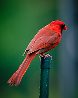 Northern Cardinal. Image taken with a Fuji X-T3 camera and 200 mm f/2 OIS lens with 1.4x teleconverter.