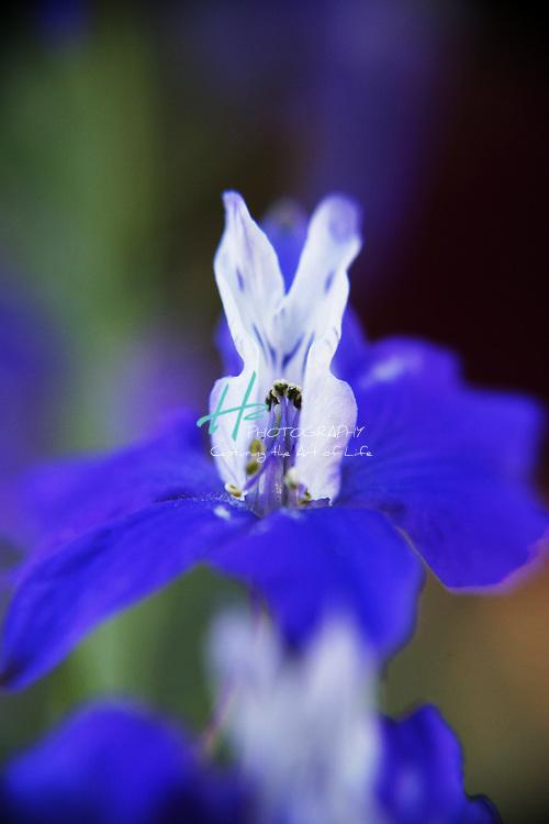 Subject: Blue Bells.Habitat:  Gardens.Location: Santa Barbara, CA.Magnification:  1:1.