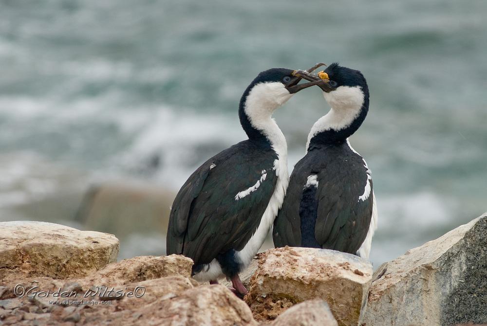 Blue-eyed shags (Antarctic Cormorants) interlock their beaks on Petermann Island, Antarctica.