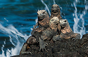 Marine Iguanas basking in the sun<br /> Amblyrhynchus cristatus<br /> Puerto Villamil. Isabela Island<br /> Galapagos Islands<br /> ECUADOR.  South America<br /> ENDEMIC TO THE ISLANDS