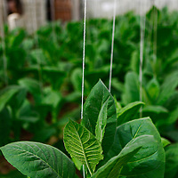 Cnetral America, Cuba, Pinar del Rio, San Luis. Cuban Tobacco plants at Finca Robaina plantation.