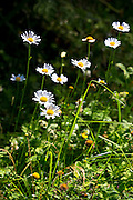 Ox-eye daisy wildflower, Leucanthemum vulgare, herbaceous perennial in an English garden, UK