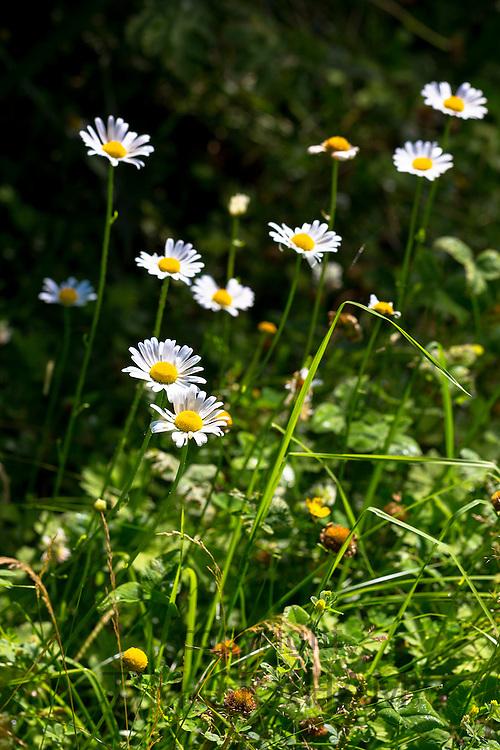 Ox-eye daisy wildflower, Leucanthemum vulgare, herbaceous perennial in an English garden, UK
