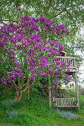 Syringa vulgaris - Lilac - and treehouse
