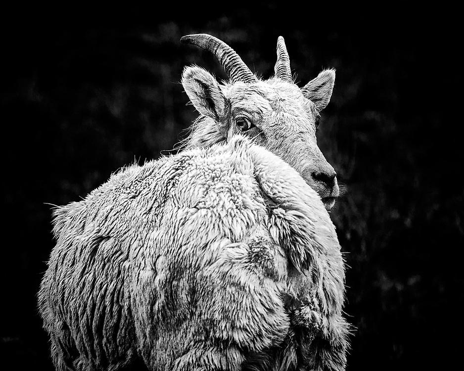 An insouciant Bighorn Sheep ewe.  Take near Miller Butte outside of Jackson Hole, WY.