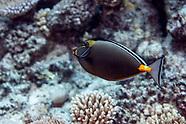 Naso lituratus (Orangespine unicornfish)