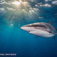 An adult silky shark (Carcharhinus falciformis) swimming beneath the surface of the ocean, with evening sun burst. Jardines de la Reina, Gardens of the Queen National Park, Cuba. Caribbean Sea.