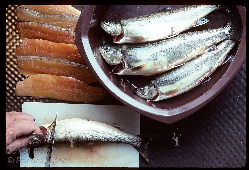 Fresh-caught arctic charr is filleted on kitchen counter in an Icelandic home; Reykjavik. Iceland