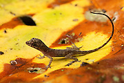 Anole Lizard (Anolis sp)<br /> Napo River bordering Yasuni National Park, Amazon Rainforest<br /> ECUADOR. South America