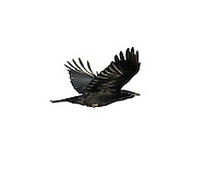 Carrion Crow Corvus corone corone (L 43-50cm) has glossy black plumage and is found throughout England and Wales; in Scotland it is largely confined to the south and east of an imaginary line drawn roughly from the Firth of Clyde to the Dornoch Firth.