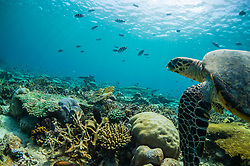 Turtles Underwater diving with the turtles in the Seychelles.