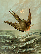 Frigate Bird in flight from 'Birds on the wing' by Giacomelli [Hector Giacomelli (April 1, 1822 in Paris – December 1, 1904 in Menton), was a French watercolorist, engraver and illustrator, best known for his paintings of birds.] Published in London by Thomas Nelson & Sons 1878. The book contains Hand-colored plates with accompanying text in verse