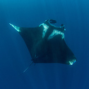 Giant oceanic manta ray, Manta birostris, feeding near the surface, Honda Bay, Palawan, the Philippines, Sulu Sea Oceanic manta ray ( Manta birostris ), Honda Bay, Palawan, the Philippines