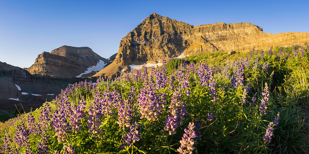 Mt. Timpanogos rises high above the basin floor with wild lupine wildflowers blooming in the warm Summer morning.
