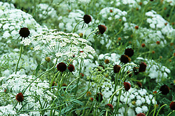 Ammi majus with Scabiosa atropurpurea . Mourning bride, Mourning widow