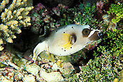 blackspotted puffer or black spotted blow fish<br /> Arothron nigropunctatus, Flinders Reef, Australia <br /> ( Coral Sea / Western Pacific Ocean )