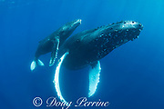 humpback whale mother and calf, Megaptera novaeangliae, Maui, Hawaii, USA ( Central Pacific Ocean )
