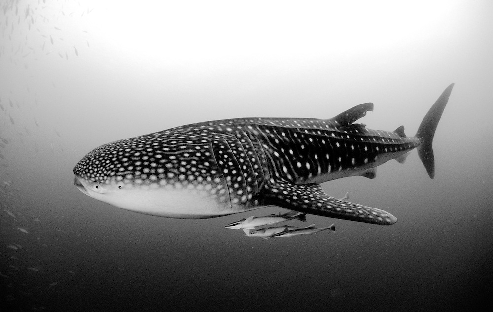 Black and White image of juvenile Whaleshark (Rhincodon typus) with remoras, Maamigili Outside, South Ari Atoll