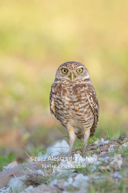 Burrowing owl (Athene cunicularia) stands proudly over its well-constructed burrow, carefully lined and topped with shredded tissue.