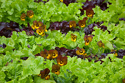 Viola 'Irish Molly' growing amongst lettuce on the vegetable bank