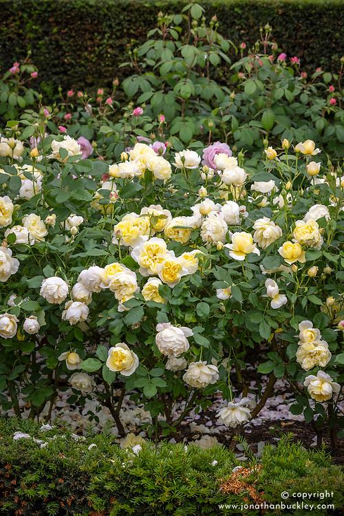 Rosa 'Vanessa Bell' syn. 'Auseasel'