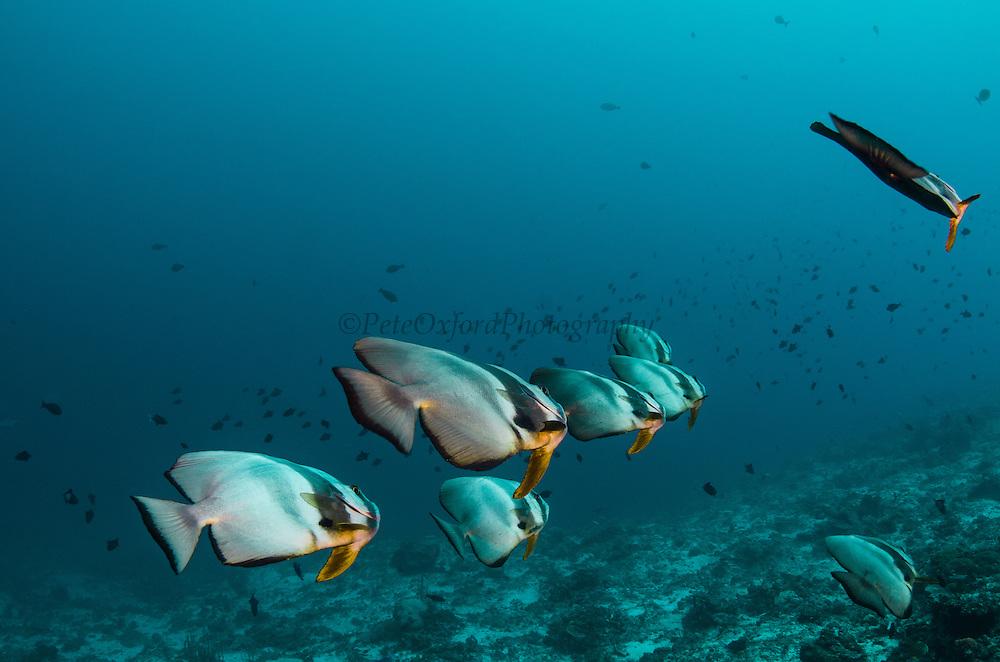 Longfin Spadefish (Platax teira)<br /> Cenderawasih Bay<br /> West Papua<br /> Indonesia