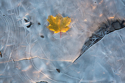 Fall leaf in a frozen pond