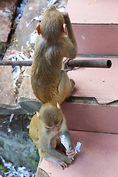Rhesus Macaque Monkey Easting From Man Made Item, Mount Popa