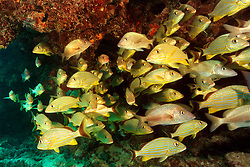 school of bluestriped grunts, Haemulon sciurus, and white grunt, Haemulon plumieri, Looe Key, Florida Keys National Marine Sanctuary, Florida, Atlantic Ocean
